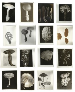 Large Mycology Photograph Archive Depicting Fungi & Mushroom Hunters